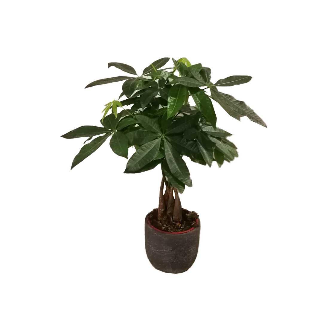 Pachira Acquatica h c.a 60cm shop online